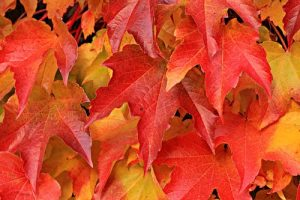 Red and gold leaves for LOG CABIN IN THE FALL WOODS